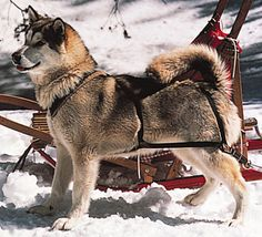 alaskan malamute playing in the snow - oh boy we get to work to day Oh wait it really is fun lets go lets go !!!!!!