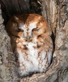 Red morph screech owl.
