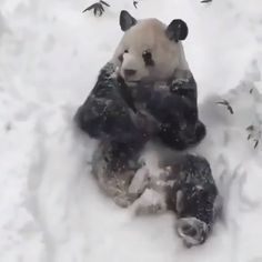 Giant panda enjoys the snow in Washington DC zoo – video — the guardian (UK) Animals And Pets, Baby Animals, Funny Animals, Cute Animals, Panda In Snow, Panda Love, Snow In Washington Dc, Dc Zoo, Panda Habitat