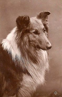 Rough Collie, date unknown Welsh Sheepdog, Shetland Sheepdog, Collie Mix, Rough Collie, Dog Photos, Dog Pictures, Wall Photos, Scotch Collie, English Shepherd