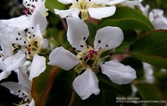 korean sun pear flower--the only pear tree that stays small enough for your yard 15X15