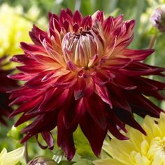Like the spirit of the Big Apple, New York city, this dahlia is big, bold and beautiful. Pair it with Hart's Dr McMurray for a dazzling display! Easy Plants To Grow, Cut Flowers, Manhattan, Bouquet, Bloom, Island, Beautiful, Homesteading, Gardening