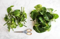 Picture of Cut the Pothos Stems Into Individual Nodes