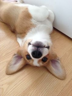 Otis the Corgi. I cannot handle all the puppy cuteness!guru is our new furry friend . Checkout of their web-site Animals And Pets, Baby Animals, Funny Animals, Cute Animals, Cute Puppies, Cute Dogs, Dogs And Puppies, Teacup Puppies, Corgi Dog