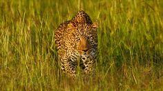 Leopard, Africa, Predator, Light, Face