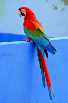 It's a Colorful Life ~: Photo – Parrot Parrot Pet, Parrot Toys, Colorful Parrots, Colorful Birds, Tropical Birds, Exotic Birds, Pretty Birds, Beautiful Birds, Animals And Pets