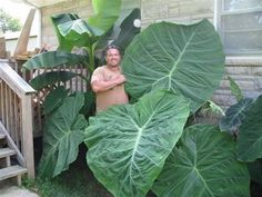 "elephant ears and tropicals Alocasia ""Borneo Giant"" elephant ear plant. Big Leaf Plants, Live Plants, Cool Plants, Tropical Landscaping, Tropical Plants, Garden Landscaping, Tropical Gardens, Outdoor Plants, Garden Plants"