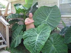 ... GIGANTEA Massive ELEPHANT EAR ~ BIG 1gallon Plants ~ Colocasia AROIDS