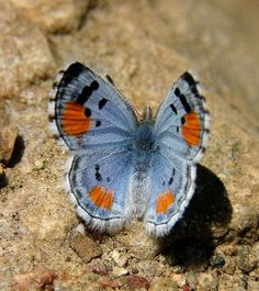 Sonoran Blue Butterfly (Philotes sonorensis)