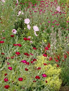 Lychnis Coronaria in bloom at Normanby