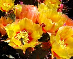 Prickly pear cactus-I love their flowers