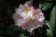 Janet Blair Rhododendron (Rhododendron 'Janet Blair') at Connon Nurseries CBV