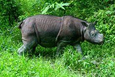 Indonesia tiene dos especies críticas de rinocerontes en peligro de extinción: el rinoceronte de Java y el de Sumatra. Ambos probablemente extintos en estado salvaje