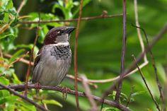 Name in Spanish:  Gorrión Doméstico; Name in English:  Domestic Sparrow.  Seen in Isabela, Puerto Rico.