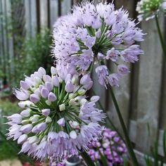 Allium 'Summer Beauty' - Allium Bulbs - Van Meuwen - Clump forming habit which is different from most alliums. Each rhizome produces several stems. H 60 x S Good for veg patch as repels aphids. Fire Pit Bbq, Fire Pits, Veg Patch, Prairie Garden, Cottage Garden Plants, Bulb Flowers, Allium, Summer Beauty, Spring Garden