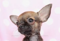 tea cup chihuahua by teacupspuppies.com