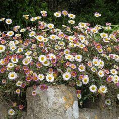 karvinskianus 'Profusion' AGM Eco Garden, Seaside Garden, Cottage Garden Design, Gravel Garden, Garden Edging, Dream Garden, Garden Pots, Small Gardens, Outdoor Gardens