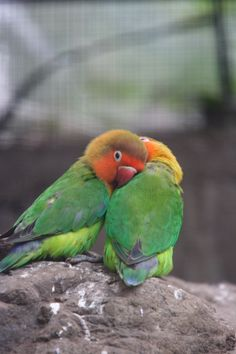These birds are the cutest things I've ever seen. These lovebirds mate for life, display affection, and are monogamous to their mating pair.