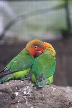 Snuggling lovebirds.
