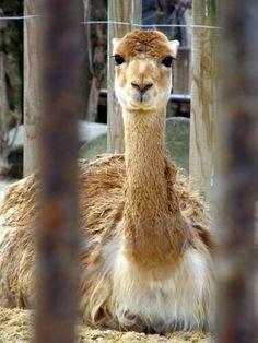 """Llama (Paris Paul Prescott) [From my prose poem """"Human Zoo""""]"""