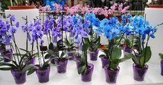Tajomstvo sadenia orchidey je odhalené. Máte doma jednu orchideu, na ktorú sa nemôžete vynadívať achceli by ste také ešte ďalšie tri? Nemusíte ich kupovať predražené vkvetinárske. Úplne jednoducho si ju môžete zakoreniť aj doma. Nie je to zďaleka také ťažké, ako sa otom rozpráva. Orchidea je obľúbená rastlina mnohých milovníkov kvetov apestovateľov izbovej zelene. Traduje …
