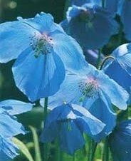 Meconopsis x sheldonii (Himalayan Blue Poppy)