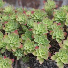 """Aeonium arboreum """"Nigrum"""" Common name(s): Tree Aeonium, Tree Houseleek Synonyme(s): Aeonium nigrum Family: Crassulaceae Origin: only cultivated, the wild type is native to Canary Islands More infos: . Succulent Names, Cacti And Succulents, Planting Succulents, Cactus Plants, Echeveria, Kalanchoe Blossfeldiana, Crassula Ovata, Gollum Hobbit, Plant Identification"""