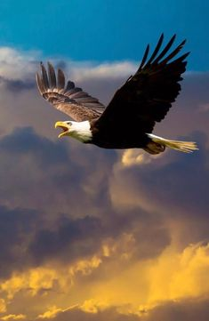 Bald Eagle, Birds, Animals, Animales, Animaux, Bird, Animal, Animais, Dieren
