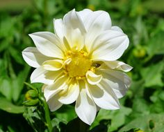 White flower with insect by Diliban P -  Click on the image to enlarge.