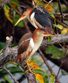 The Least Bittern (Ixobrychus exilis) is a small wading bird, the smallest heron found in the Americas by st0l1 on Flickr