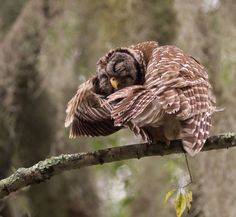 A Barred Owl (Strix varia) shakes off the remains of the passing tropical storm at the Circle B Bar Reserve in Florida, USA. Photo by Gisele Roy.