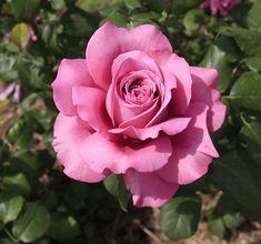 Claude Brasseur ~ Hybrid Tea Rose