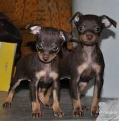Prague ratter dogs. I want to own one or a bunch!*