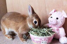 Ichigo san 477 いちごさんうさぎ rabbit bunny netherlanddwarf brown ネザーランドドワーフ ペット いちご うさぎ