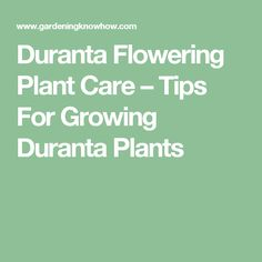 Duranta Flowering Plant Care – Tips For Growing Duranta Plants