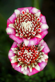 This Malay Rose (Etlingera Venusta) from Fairchild Tropical Botanic Garden almost seems like two flowers in one.