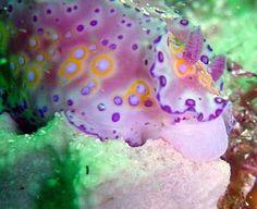 The Sea Slug Forum - Ceratosoma brevicaudatum    ;)
