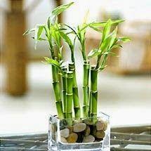 Canto do Feng Shui: Bambus e Feng Shui