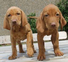 vizsla puppies | Vizsla_Puppies.JPG