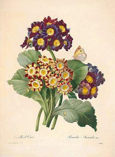 Primula auricula ~ primroses