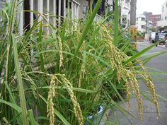 It's wonderful to see rice growing in a simple residential street garden, alongside geraniums and other ornamentals. The rice is nearly ready to be harvested. Tokyo Green Space
