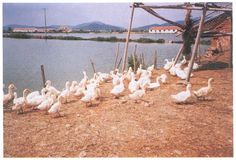 duck raising in fish ponds an ancient practice in asia and europe