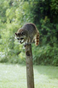 Raccoon on a POST