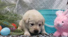 girl born 3-3-15 English Lab Puppies, Labrador Retriever, Dogs, Animals, Labrador Retrievers, Animaux, Doggies, Animal, Animales