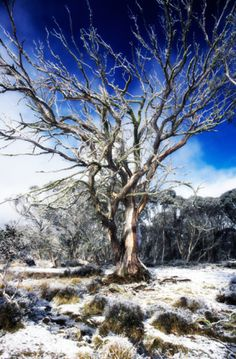 Australia, Dinner Plain, snow covered field with bare Mountain Snow Gum tree Credit: James Lauritz