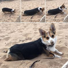 Tips for staying cool on a hike from Maggie the Corgi - dig for cooler sand, get your belly down in there, and be sure to keep your nose cool too. Voilà! Z
