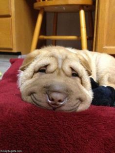 Jenn... look how happy this little wrinkle dog is