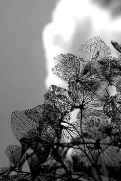 © crucifix marielle #flower#hortensias#dentelle#fragile#winter#blue#black&white
