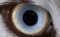 different eye colour mutations - Google Search