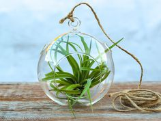 Brachycaulos Simplicity Air Plant Terrarium Kit from Air Plant Design Studio